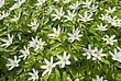 Anemone Nemorosa, Early-spring Flowering Plant In The Genus Anemone In The Family Ranunculaceae, Native To Europe, Also Known As Wood Anemone, Windflower, Thimbleweed, And Smell Fox