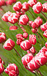 Angle Shot Of Red Dutch Tulips Flowerbed In Keukenhof Park In Holland stock photo