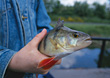 Angler Holding Caught Fish In Hand stock photo