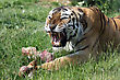 Tigers angry siberian tiger protecting his prey stock image
