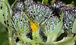 Small Aphid Living And Grey Bag On A Green Thistle Bush stock photo