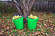 Biology Apple In Pail In Autumn Garden stock photography