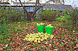 Apple In Pail In Autumn Garden stock photo