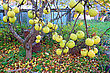 Choice Apple On Branch In Autumn Garden stock photo