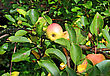 Growth Apple On Branch In Autumn Garden stock photo