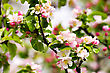 Apple Pink Flowers Background stock photo