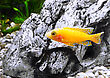 Aquarium Fish Dwarf Cichlid-Aulonocara(Aulonocara Sp. Orchidea Red