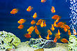 Aquarium Parrot Fish In Blue Water