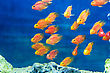Aquarium Parrot Fish In Blue Water stock photography