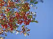 Ashberry On The Blue Sky Background stock image