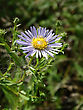 Aster Is A Genus Of Flowering Plants In The Family Asteraceae. Its Circumscription Has Been Narrowed, And It Now Encompasses Around 180 Species, All But One Of Which Are Restricted To Eurasia; Many Sp stock photo