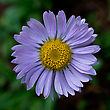 Aster Growing Along The Blue Lake Trail In Northern Colorado. stock image