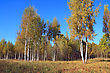 Autumn Birch Wood On Blue Background stock photography