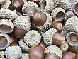 Autumn Browns Acorns Close Up Isolated stock photo