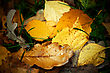 Sad Autumn Fallen Leaves With Rain Drops, Closeup Shot stock photo