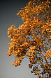 Autumn Gold Tree On Gray Background stock photography