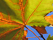 Autumn Leaf Of Maple Tree On Blue Sky Background Close Up stock photography