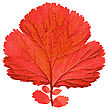Contrast Autumn Leaf On White Background. Vector Illustration stock photography