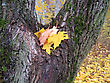 Autumn Leaves Of Maple Tree On Tree Trunk stock photography