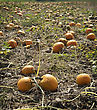 Sunlight Autumn Pumpkin Patch. A Pumpkin Patch Ready To Be Harvested stock photo