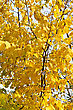 Autumn Tree With Bright Yellow Foliage stock photography