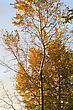 Autumn Tree With The Turned Yellow Leaves stock photo