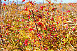 Autumnal Bush Of ;dogrose And Splendid Field By October. stock image