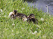 Baby Ducks In Saskrtchewan Canada Wetlands Wild stock photo