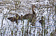 Baby Ducks In Saskrtchewan Canada Wetlands Wild stock image