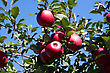 Background Of A Branch With Red Apples Against Blue Sky stock photo