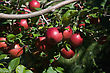 Background Of A Branch With Red Apples Against Blue Sky stock photography