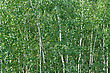 Background Of The Branches Of Young Birch Trees stock photo