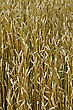 Background From Ripe Golden Wheat Ears In A Wheat Field stock image
