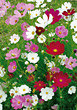Background of Blooming Daisies stock photography