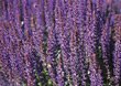 Background of Lupins stock photo
