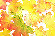 Background, Wallpaper-perfect Autumn Leaf Over White. Isolated stock image