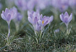 Background with Purple Crocuses stock photo
