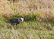 Badger Young Saskatchewan Walking In A Field stock photo
