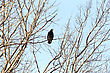 Bald Eagle In Tree In Saskatchewan Canada stock image