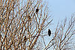 Raptor Bald Eagles In Tree In Saskatchewan Canada stock photo
