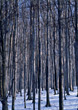 Bare Forest in the Winter stock photography