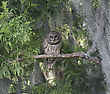 Barred Owl Perching On Branch stock image