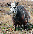 Bearded Goat With Horns stock image