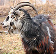 Bearded Goat With Horns Chew Grass stock photo