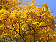 Beautiful Autumn Leaves Of Maple Tree On Blue Sky Background stock photography