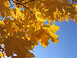 Beautiful Autumn Leaves Of Maple Tree On Blue Sky Background stock photo