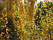 Beautiful Autumn Leaves Of Birch Tree stock photography