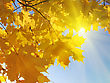 Beautiful Autumn Leaves Of Maple Tree stock photography
