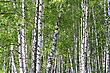 Beautiful Birch Trees In A Summer Forest stock photo