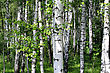 Beautiful Birch Trees In A Summer Forest stock photography